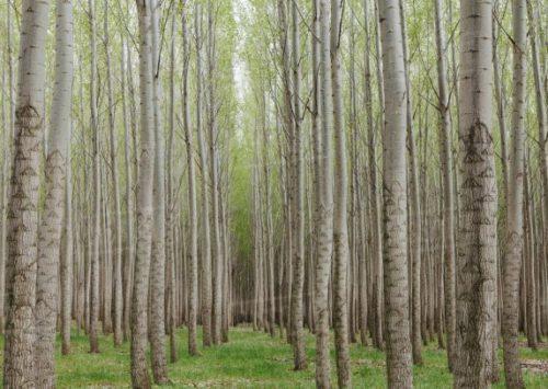 Scoperti i pioppi mangia-plastica: eliminano l'inquinamento assorbendo ftalati nelle radici