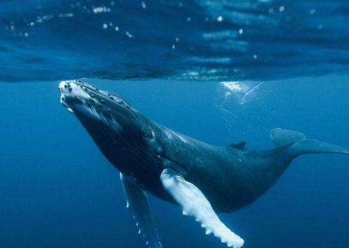 Moby Dick può ridurre l'effetto serra